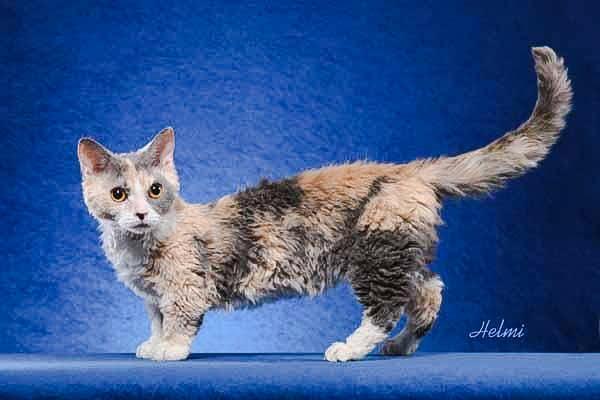 Lambkin cat. Photo by Helmi Flick