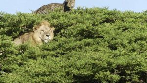 Leopard escapes lion in tree