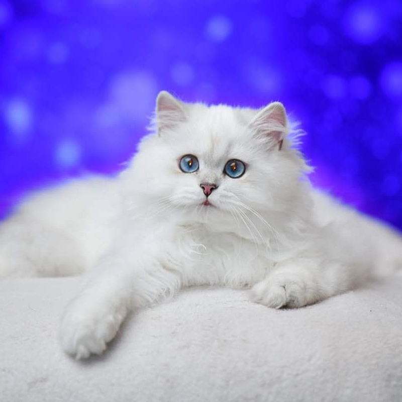 Male white British Longhair cat bred in Russia by the Golden Leris cattery
