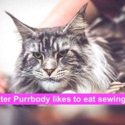 Sir Dexter Purrbody likes to eat cotton thread. Photo Sandra Hamand.