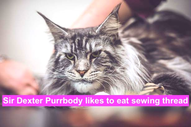 Sir Dexter Purrbody likes to eat cotton thread. Photo Sandra Hamand.
