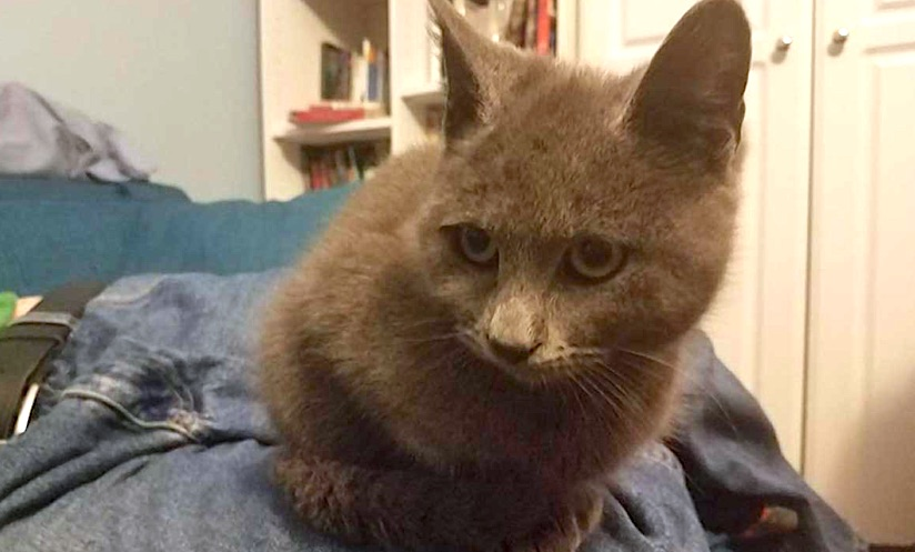 Sweet gray kitten rescued from storm drain by committed volunteers
