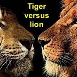 Tiger versus lion