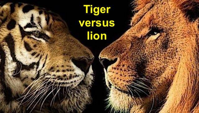 Tiger versus lion