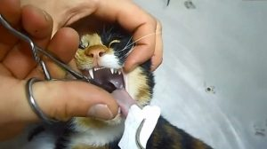 Video of vet removing fish bone from cat's throat