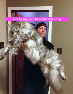 Not as big as a tiger but huge nonetheless