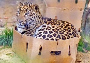 Cats in boxes: Study shows that cats given boxes are less stressed