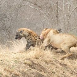Lion attacking a hyena