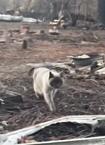 Tearful reunion when Camp Fire survivor sees her cat running toward her from the rubble