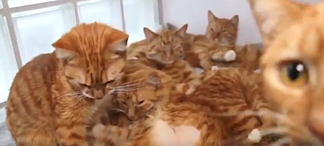 11 ginger tabby rescue cats sleep in a big pile