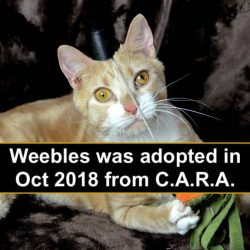 Cara cat Weebles was adopted last Oct.