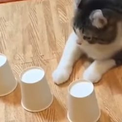 Cat trained to do the ball in cup trick