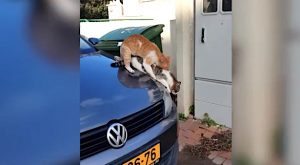 Cats mating on car hood fall off