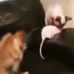 Dog rat and cat buddies