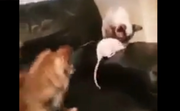 Dog rat and cat buddies