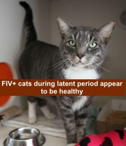 FIV-positive cat Godzilla was lucky enough to find an adopter willing to overlook his diagnosis to the loving cat within!