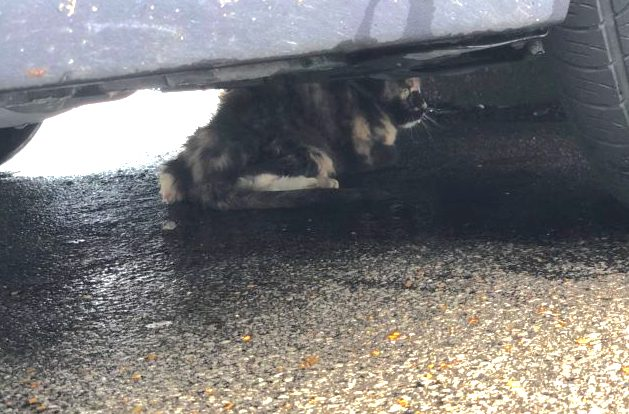 Injured cat under car