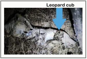 Lion raises leopard cub