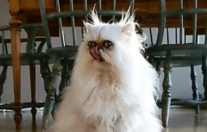 Monstrous Persian cat