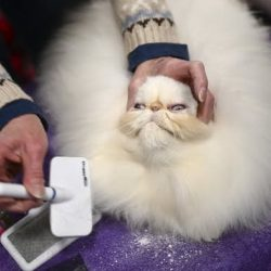 Picture of what a purebred cat goes through at a cat show before being shown