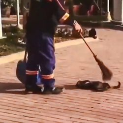 Road sweeper brushes street cat