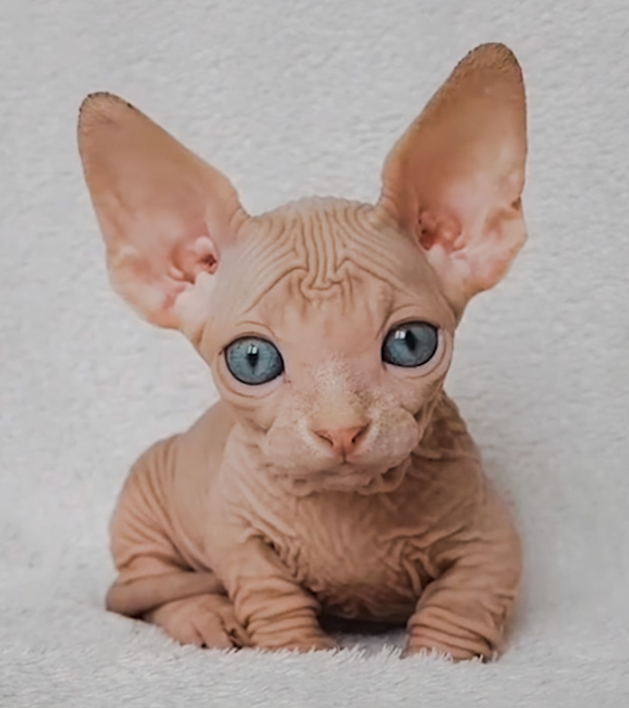 Super cute Sphynx kitten taking the internet by storm | PoC