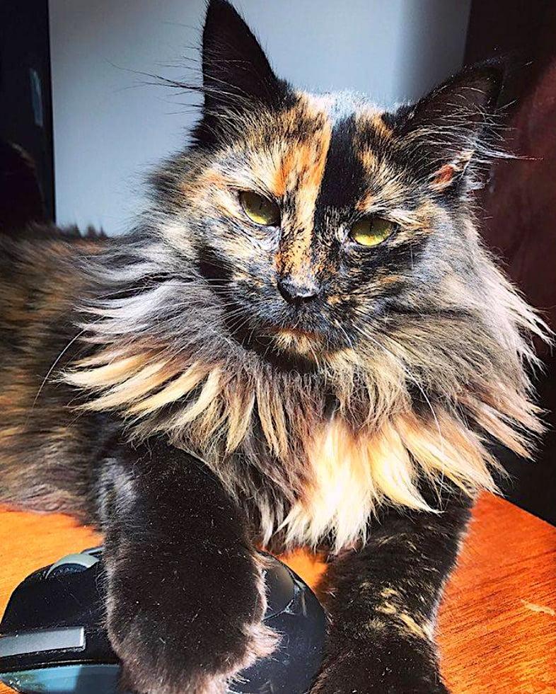 Tortoiseshell cat with amazing mane needs a modelling agent