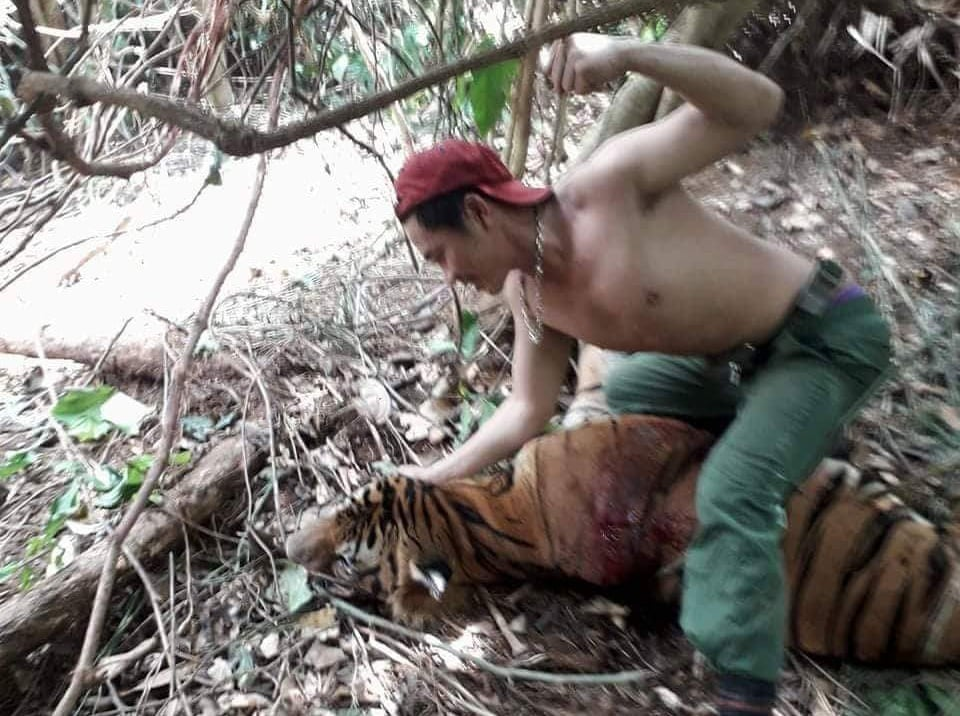 Suspected Vietnamese tiger poacher over dead tiger