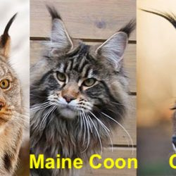 Lynx - Maine Coon - Caracal