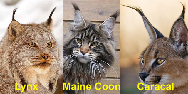 Lynx - Maine Coon - Caracal