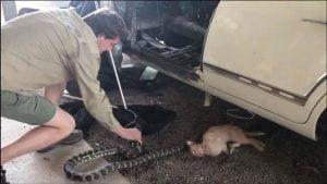 Python kills domestic cat in Australia