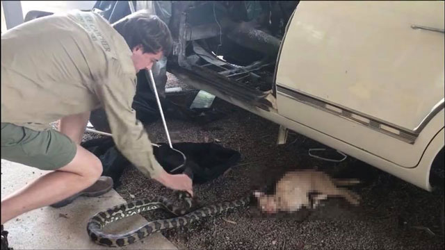 Python kills domestic cat in Australia