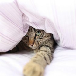 Cat playing under sheets