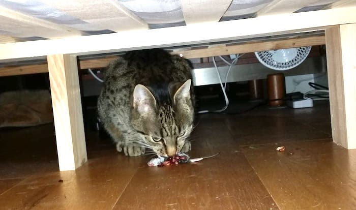 Cat eats mouse