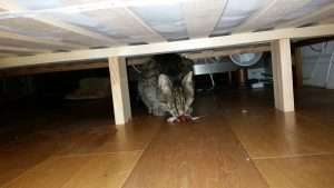 Cat eating mouse under bed
