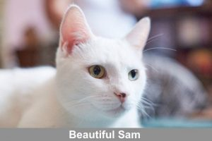 Beautiful Sam a deaf cat and companion to Elaine