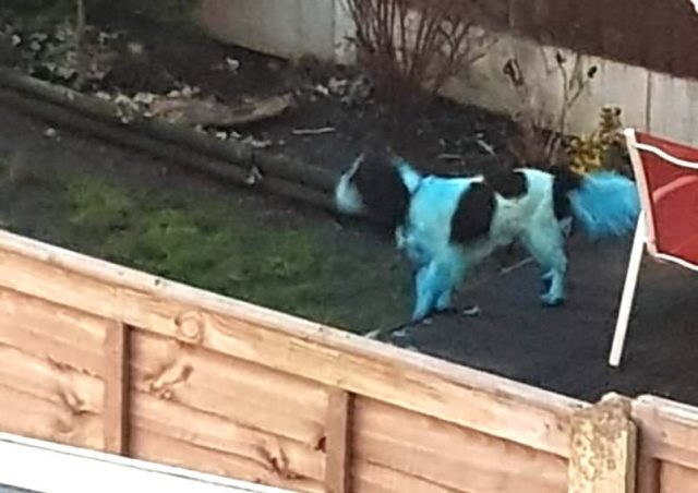 Dog turned blue by ink
