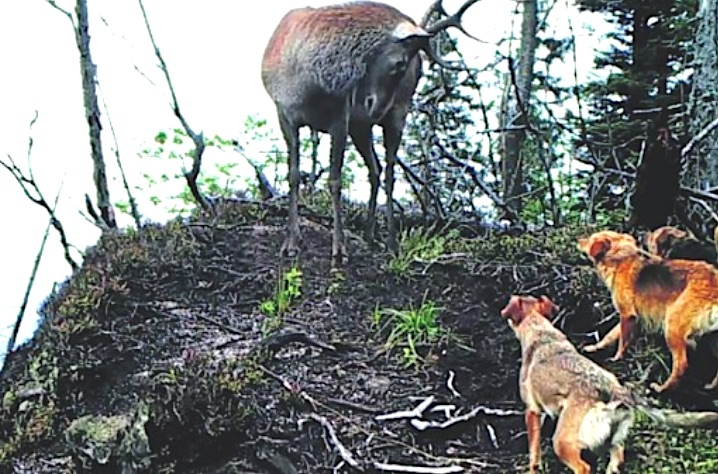 Dogs attacking deer