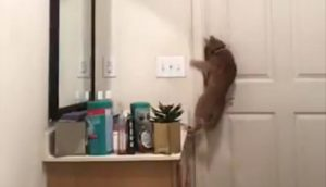 Explaining how this cat so competently opens this door