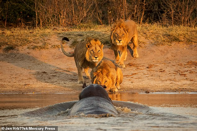 Hippo scares three male lions at watering hole in Bostwana' Chobe NP. Photo: Jan Hrbacek.