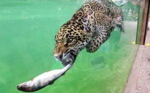 Jaguar catching a fish