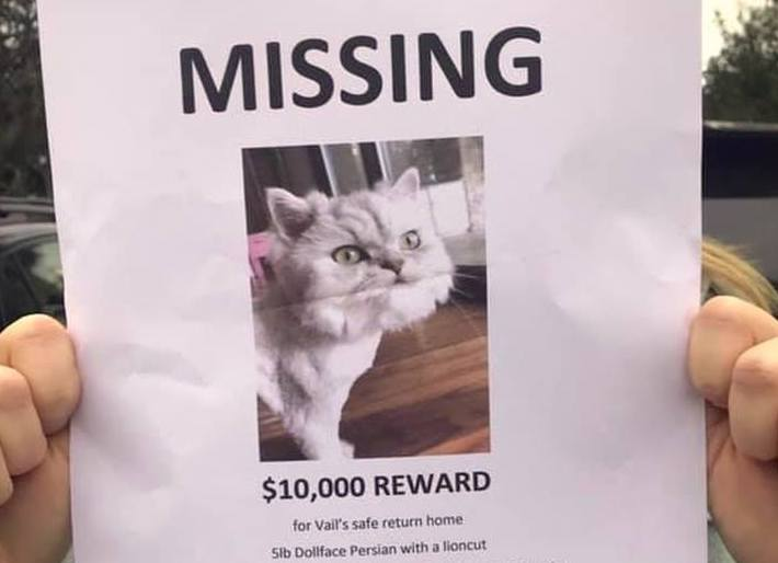 Lost cat poster with $10k reward
