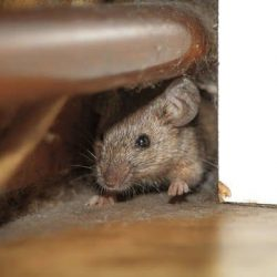 Mouse in the home