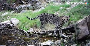 Ocelot on camera trap in Arizona