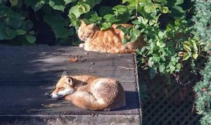 Proof that foxes are not bothered with adult domestic cats