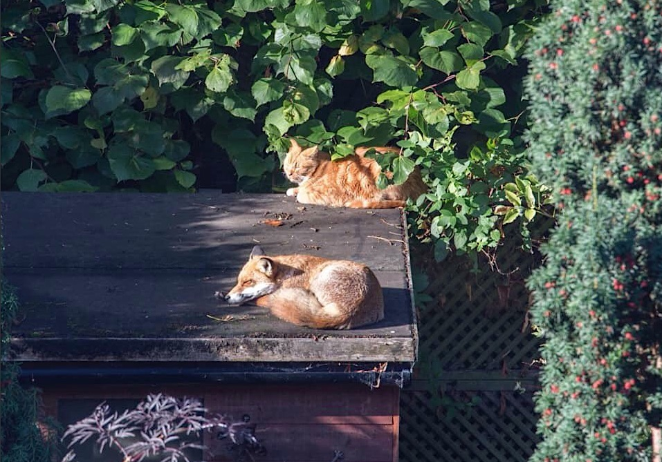 Proof that foxes don't bother adult domestic cats