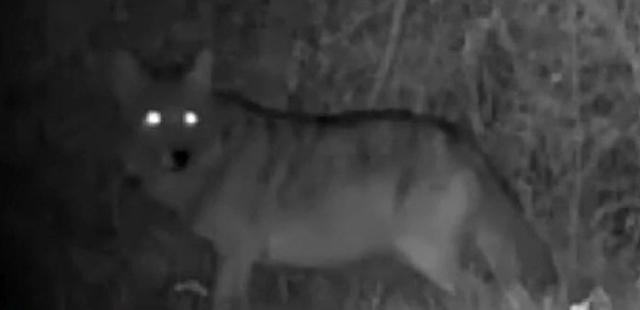 Coyote Florida