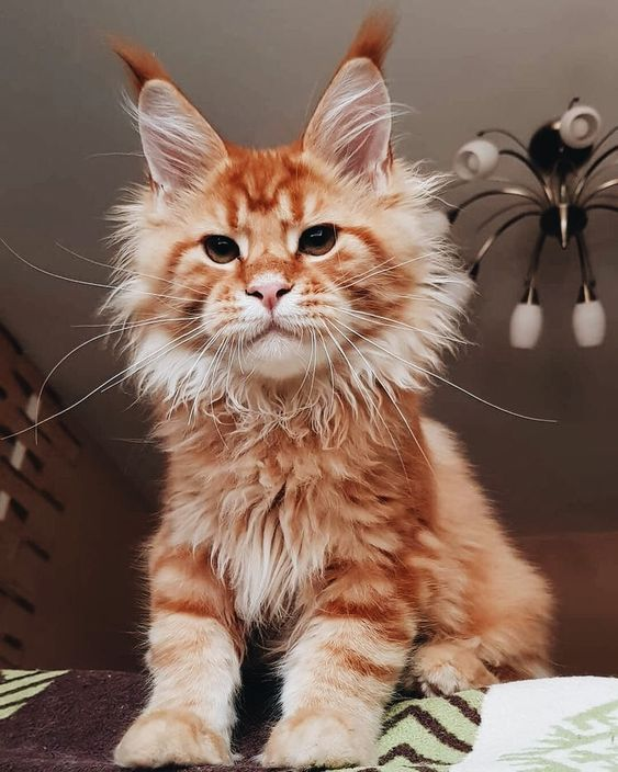 Super looking cat a young Maine Coon