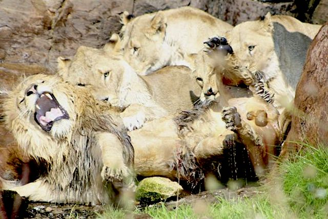 Female lions attack single male lion at safari park