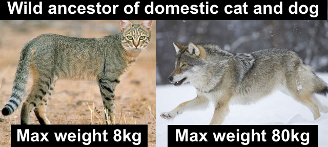 Difference is size and weight of wild ancestor of domestic cat and dog respectively